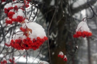 red-winter-berries-in-the-snow