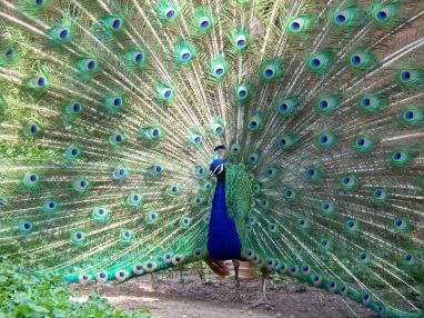 peacock_milwaukee_county_zoo